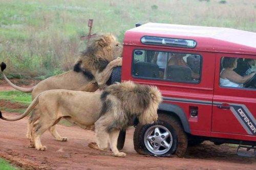 lions-car